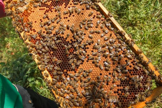 Feld mit siegelbienenbrut in den händen eines imkers. rahmen mit bienen gesetzt. honigbienenfamilie mit brummen auf bienenwaben mit siegelhonig.