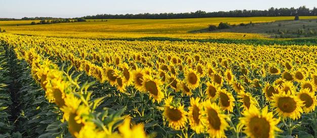Feld mit sonnenblumen. ein endloses feld mit den gleichen blüten eines unterbaums, eine sommerlandschaft. erntekonzept. panoramablick, banner.