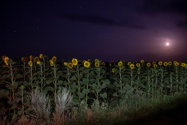 Feld mit sonnenblumen im mondschein
