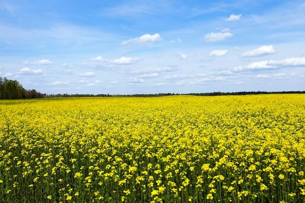 Feld mit vergewaltigung ein landwirtschaftliches feld, das gelben raps blüht. frühling