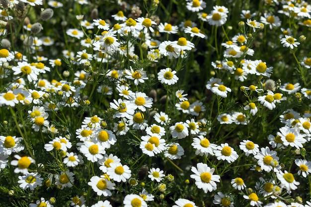 Feld mit weißen gänseblümchen
