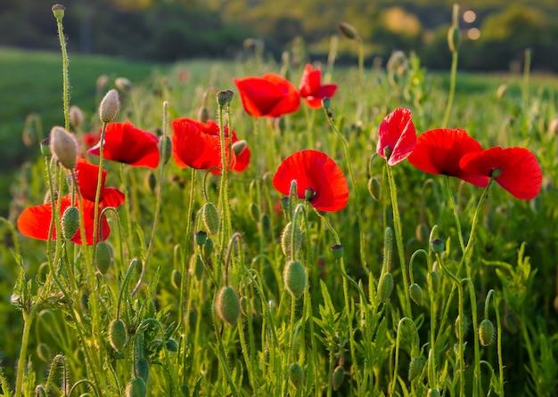 Feld mit wunderschönen roten mohnblumen