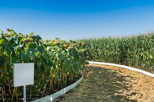 Feld pflanzt kreisförmigen mais und sonnenblumen, sektoren von demo-parzellen