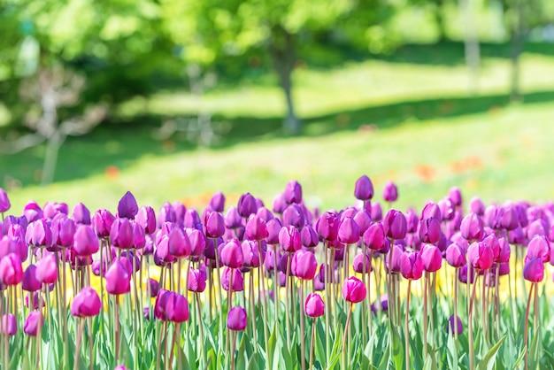 Feld vieler lila tulpen im grünen park