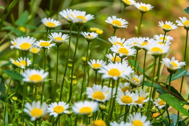 Feld voller gänseblümchen