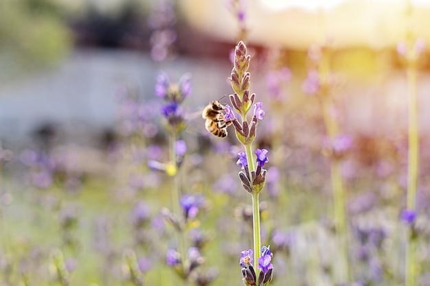 Feld von blühenden lavendelblumen gegen untergehende sonne und kleine biene