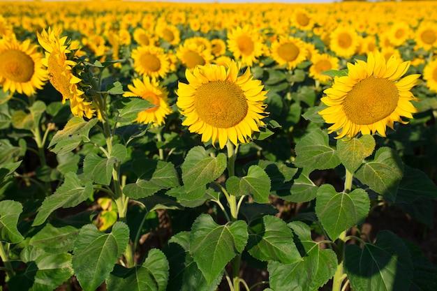 Feld von blühenden sonnenblumen auf einem hintergrundsonnenuntergang