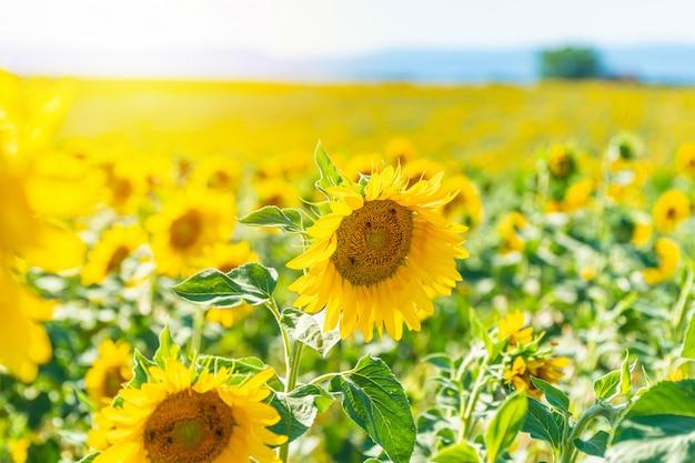 Feld von blühenden sonnenblumen in valensole
