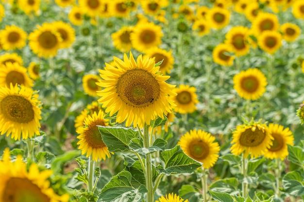 Feld von blühenden sonnenblumen nahe valensole
