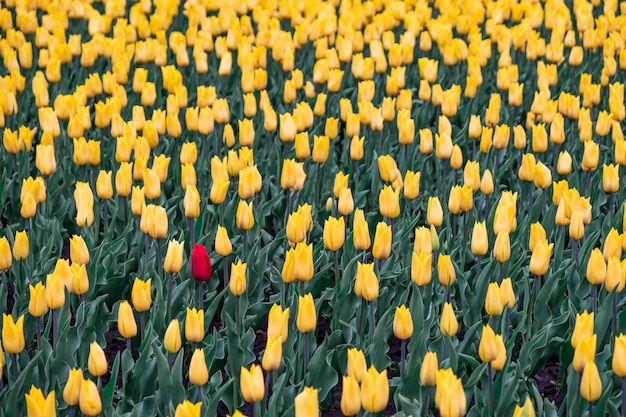 Feld von gelben tulpen und von einer roten tulpe. schwarzes schaf, außenseiterkonzept: eine rote blume auf dem gebiet der gelben blumen.