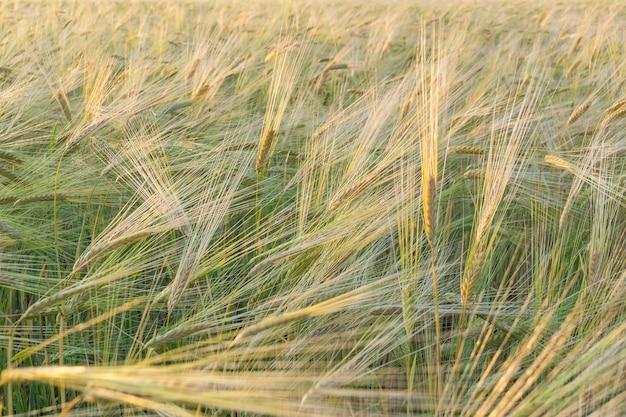 Feld von grünem weizen