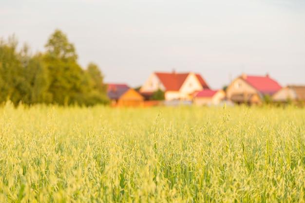 Feld von hafer und landhäusern im hintergrund