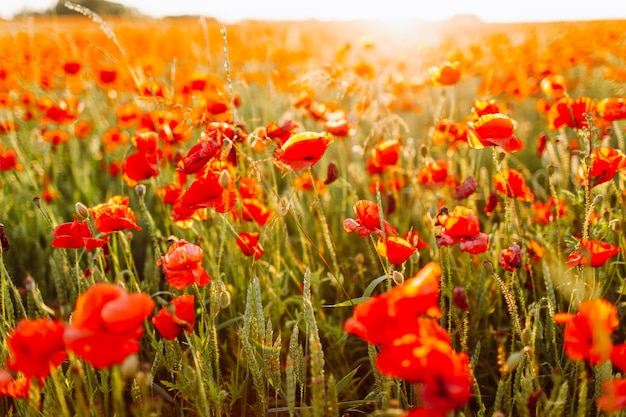 Feld von leuchtend roten klatschmohnblumen im sommer. selektiver fokus.