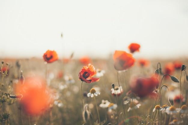 Feld von mohnblume blüht papaver rhoeas im frühjahr, getontes foto