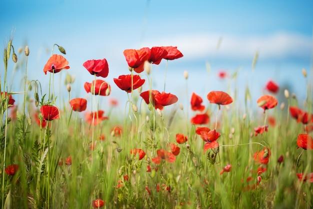 Feld von poppy flowers papaver-rhoeas im sommer, selektiver fokus