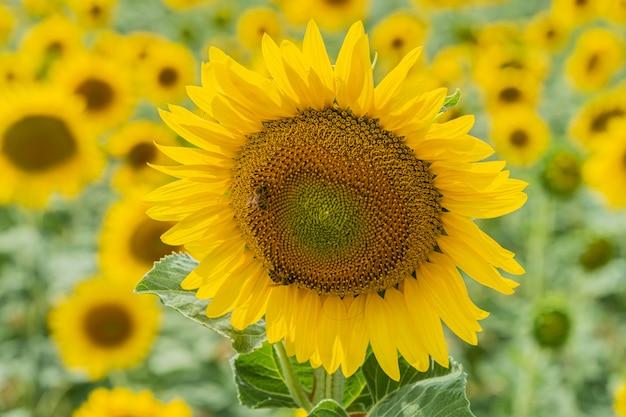 Feld von schönen blühenden sonnenblumen nahe valensole