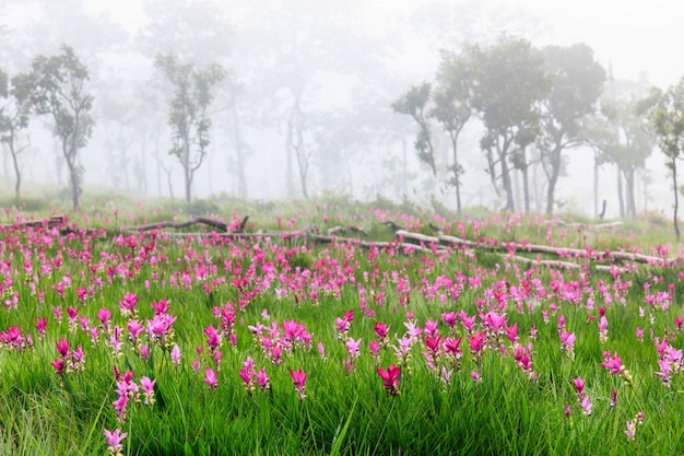 Feld von siam-tulpen