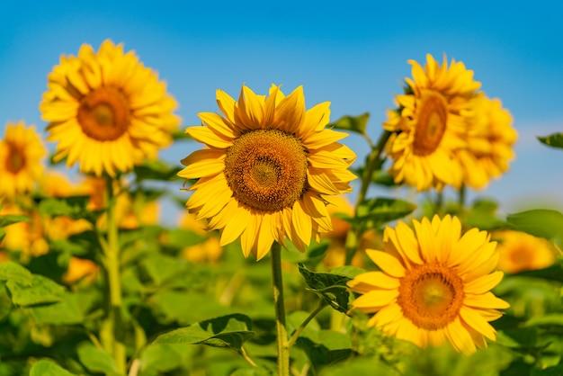 Feld von sonnenblumen blüht im sommer außerhalb der stadt.