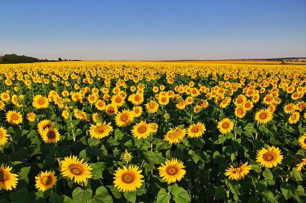 Feld von sonnenblumen in bulgarien