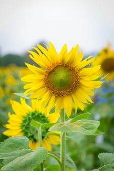 Feld von sonnenblumen, sonnenblumenbauernhof