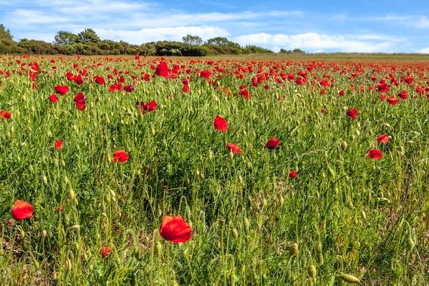 Feld von windgeblasenen mohnblumen in sussex