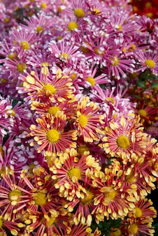 Feld von zwei farben chrysanthemen.