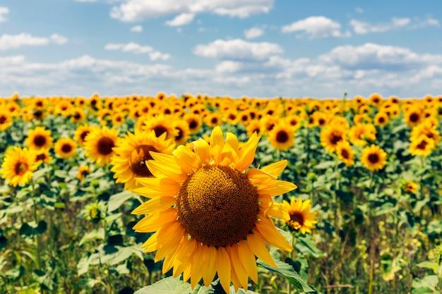 Felder mit einer unendlichen sonnenblume. landwirtschaftliches gebiet.