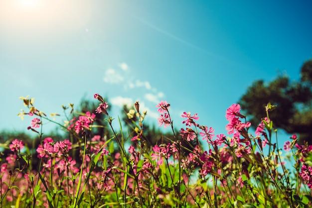 Felder von rosa blumen in der sonne.