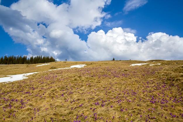 Felder von wunderschön blühenden violetten krokussen