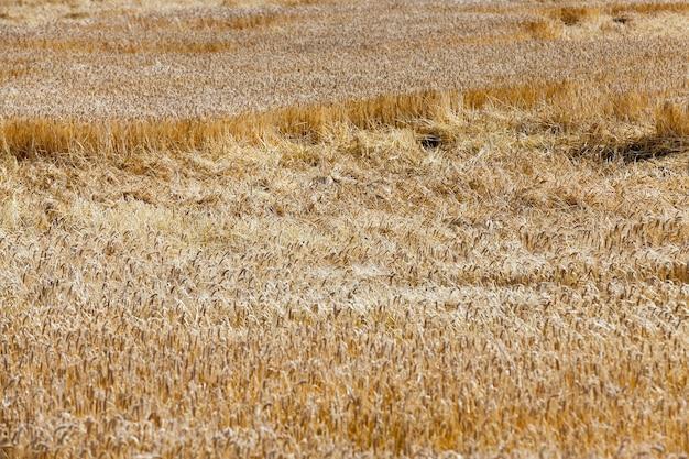 Feldgetreide - landwirtschaftliches feld, auf dem getreide weizen, weißrussland, reifes und vergilbtes getreide, geringe schärfentiefe wachsen