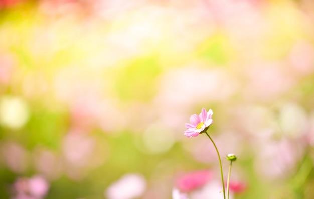 Feldkosmosblume / bunt vom blühenden frühlingsblumengarten der kosmosanlage