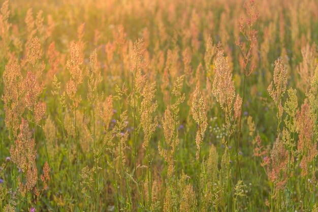 Feldpflanzen bei sonnenuntergang