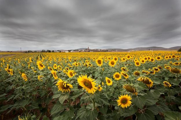 Feldszene große sonnenblumen an einem bewölkten und grauen tag
