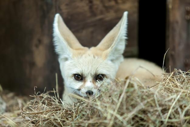 Fennec fox sitzt auf einer holzkiste.