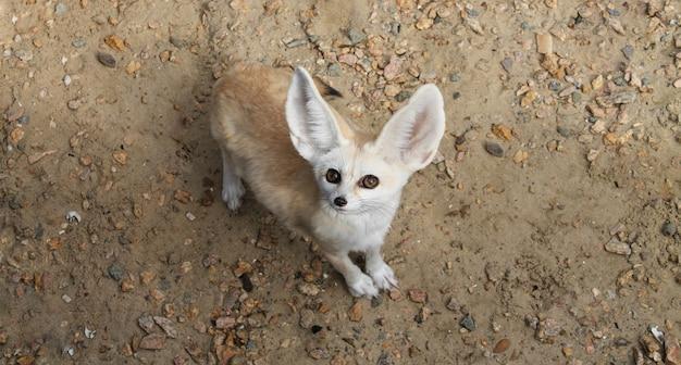 Fennec fuchs oder vulpes zerda wildtier draufsicht