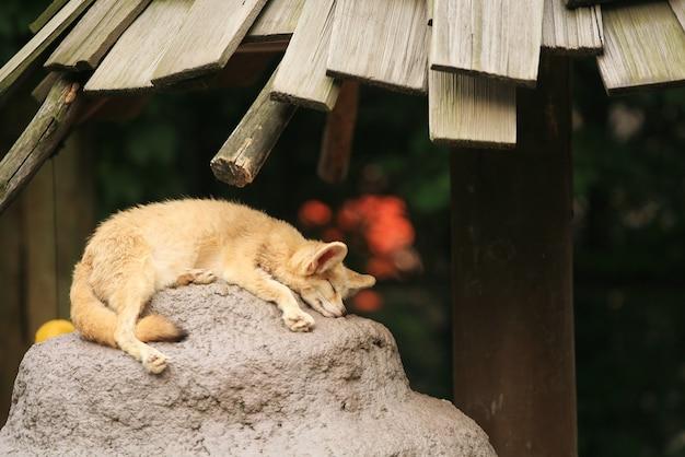 Fennec-fuchs (vulpes zerda) schlafend auf dem felsen. wildtier