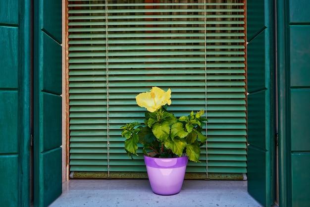 Fenster mit grünem fensterladen und gelben blumen im topf. italien, venedig, burano