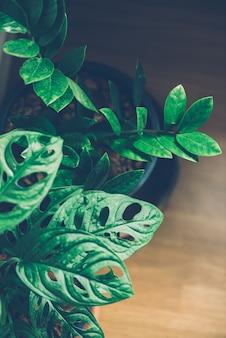 Fensterblatt, monstera obliqua im topf
