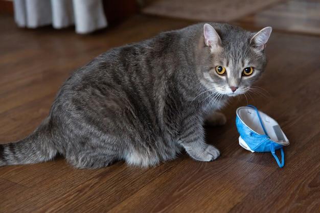 Fette getigerte britische katze, die auf boden nahe medizinischer schutzmaske sitzt.