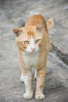 Fette katze, die auf dem zementboden schaut rechts steht.