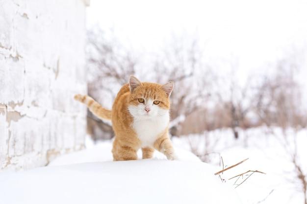 Fette rote katze geht in den schnee