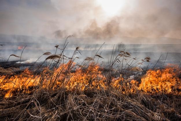 Feuer im schilf getrocknete schilfe, die im feuer bei sonnenuntergang wachsen.