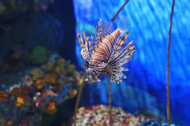 Feuerfisch (pterois volitans), der im aquarium gegen korallenriffe schwimmt