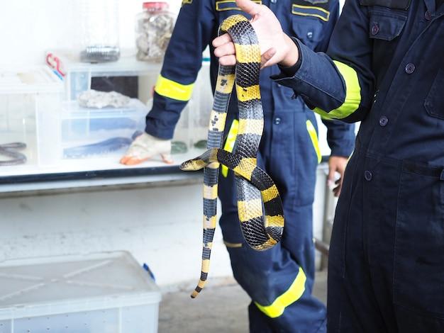 Feuerwehrmann oder rettung demonstrieren, um eine schlange, einen mit einem band versehenen krait oder einen bungarus fasciatus zu fangen. banded krait ist eine giftschlange, die nachts aktiv und tagsüber faul ist.