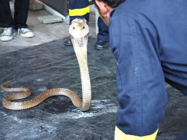 Feuerwehrmann oder rettung demonstrieren, um eine schlangenkobra (naja kaouthia) zu fangen.