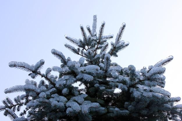 Fichte im eis auf dem hintergrund des klaren himmels. fichte nach einem eisigen regen. das eis auf den fichtenzweigen. der winter ist gekommen.