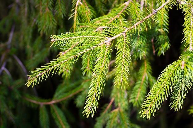 Fichte zweig. schöner fichtenzweig mit nadeln. weihnachtsbaum in der natur. grüne fichte. natürlicher grüner hintergrund