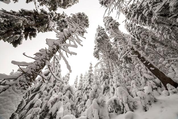 Fichten mit tiefem schnee bedeckt