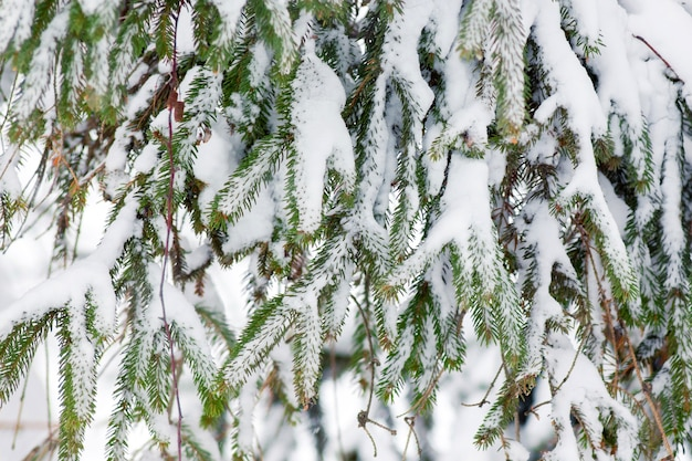 Fichtenzweige sind mit schnee bedeckt.