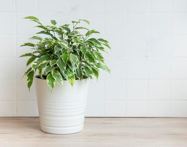 Ficus benjamin auf dem tisch, zimmerpflanzen